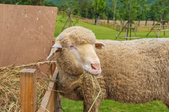 Face of Sheep Royalty Free Stock Photography