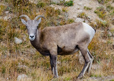 Face of Sheep on Mount Evans. A bighorn sheep grazing near the top of Mount Evans in Colorado stock image