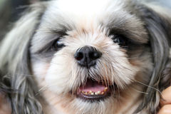 Face of the Shih Tzu dog. Focus on Face of the Shih Tzu dog royalty free stock images