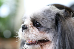 Face of the Shih Tzu dog. stock photography
