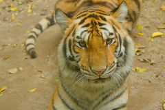 Face of Siberian tiger in the jungle Stock Photography