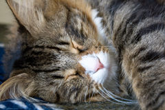 Face Of Sleeping Cat Royalty Free Stock Photography