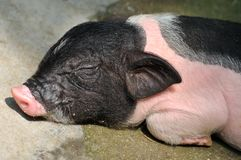Face of a sleeping piggy Stock Photo
