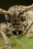 Face of the small Long-horned beetle Stock Photos