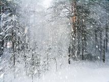 Face the snow. Sudden snow flurry in the winter forest Stock Image