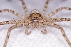 Face of spider. Face of the huntsman spider on the white sheet Royalty Free Stock Images