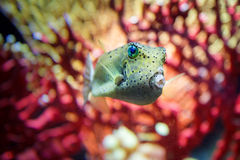 Face On Spotted Boxfish Stock Photos