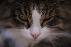 Face squinted cat. The cat screwed up his eyes, his face photographed close-up Stock Image