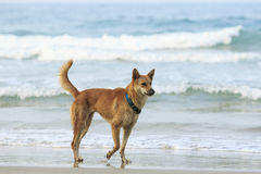 Face of street dog standing on sand beach Royalty Free Stock Photo