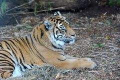 Face of a Sumatran tiger lying down on the ground stock images