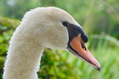 Face of a Swan. Closeup of a swan Stock Photo
