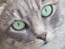 Face of a Tabby Cat Royalty Free Stock Photo