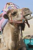Face of a talkative camel Stock Photography