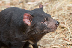 Face of Tasmanian devil. Hobart, Tasmania, Australia - December 27, 2016: Tasmanian devil Sarcophilus harrisii royalty free stock images