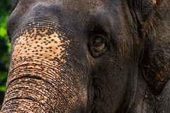 Face of thai elephant Stock Photos
