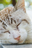 Face of Thai white cat Royalty Free Stock Image