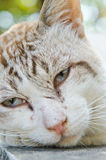 Face of Thai white cat Royalty Free Stock Photo