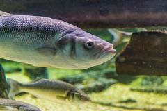 The face of a thick lip grey mullet in closeup, a common and popular fish from the atlantic ocean stock image