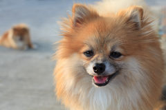 Face of thinking pomeranian dog Stock Image