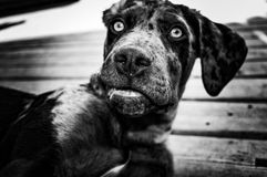 Catahoula Leopard Dog Royalty Free Stock Images