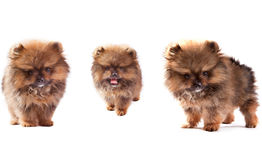 Face of three lovely pomeranian dog puppies standing and looking Stock Photo