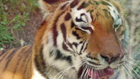 The face of a tiger close up. The face of a tiger close up stock video