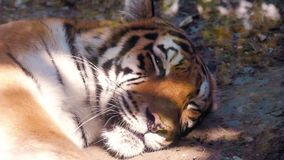 The face of a tiger close up. The face of a tiger close up stock footage