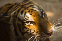 Face of the Tiger hitters page Royalty Free Stock Images