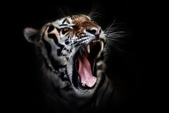 Face, Tiger, Roar, Facial Expression Stock Image
