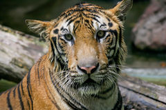 Face of tiger Stock Photo