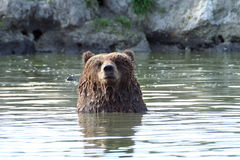 Face to face. Bear's (Ursus arctos) portrait in water Royalty Free Stock Photos