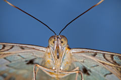 Face To Face. Close up butterfly portrait with a blue background royalty free stock images