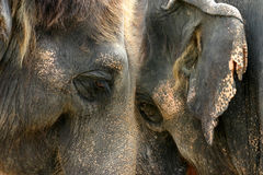 Face to face. Two African elephants face to face Stock Images