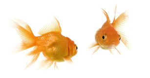 Face to face. Goldfish looking each other in front of a white background Royalty Free Stock Photos