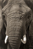 Face to Face African Elephant Portrait Royalty Free Stock Photos
