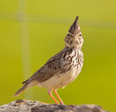 Face to face with the Crested Lark Royalty Free Stock Photo