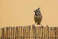 Face to face with the Crested Tit Royalty Free Stock Photography