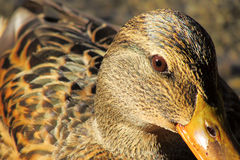 Face to face with duck Royalty Free Stock Photos