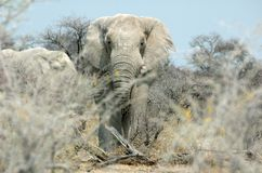 Face-to-face with an elephant. Straight eye kontact with a huge elephant Stock Photos