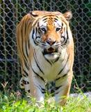 Ferocious Tiger Stock Photos