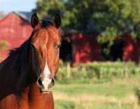 Face-to-Face Horse. A concerned horse on a farm Royalty Free Stock Photos