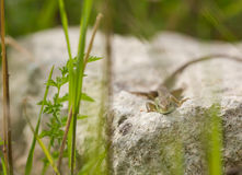 Face to face with juvenile Eastern Green Lizard Royalty Free Stock Photos
