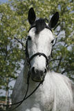 Face to face portrait  of a purebred gray horse against natural Royalty Free Stock Photo