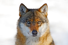 Face to face portrait of wolf. Winter scene with danger animal in the forest. Gray wolf, Canis lupus, portrait with stuck out tong. Face to face portrait of wolf Royalty Free Stock Photo