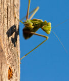 Face to face with the Praying Mantis Royalty Free Stock Images