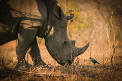 African rhino. A white rhino chatting with a small bird Royalty Free Stock Image