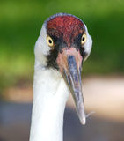 Face to face with a Whooping Crane Stock Images