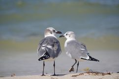 Face to face: two birds. Seagulls take sunbaths in front of the sea. Two of them seem to coincide in their path stock photo