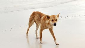 Face to Face with wild Dingo. Face to Face with a menacing wild Australian Dingo on a Fraser Island West Coast beach, Queensland, Australia..This tropical island royalty free stock photography