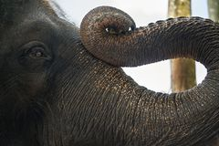 Trunk and face of asian elephant Royalty Free Stock Image